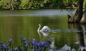Swan Lake for Blog 0415